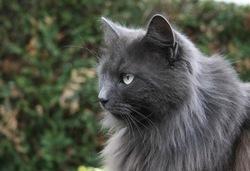 Grison, chat Angora turc