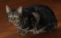 Grison, chat Gouttière