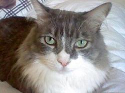 Grisou, chat Maine Coon