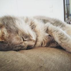 Grisou, chat Européen