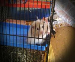 Pilou, rongeur Hamster