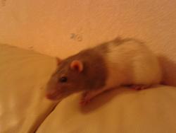 Grisou, rongeur Rat