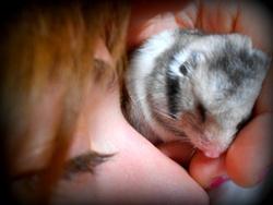 Grisou, rongeur Hamster