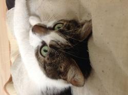 Grisouille, chat Européen