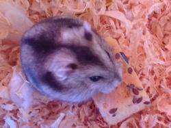 Grisouille, rongeur Hamster
