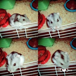 Grisouille, rongeur Hamster
