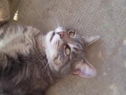 Grisouille Dit Kiki, chat