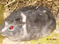 Grisounette, rongeur Cochon d'Inde
