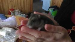 Grispy, rongeur Hamster