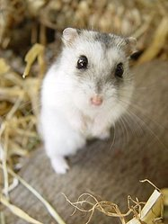 Grissoulle, rongeur Hamster