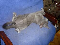 Grisette, chat Oriental
