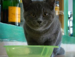 Gritch, chat Chartreux