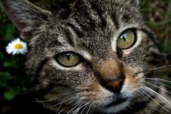 Grizette, chat Gouttière