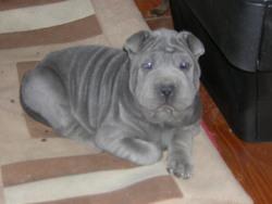 Grizka, chien Shar Pei