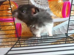 Grizou , rongeur Hamster