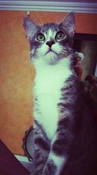 Grizou, chat Européen