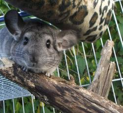 Grizoulle , rongeur Chinchilla