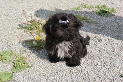 Grizzli , chien Shih Tzu