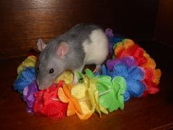 Grizzline, rongeur Rat