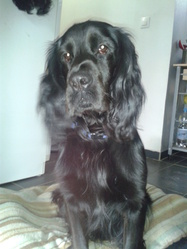 Grizzly, chien Cocker anglais