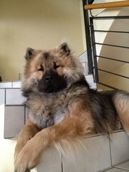 Grizzly, chien Eurasier