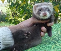 Grizzly, rongeur Furet