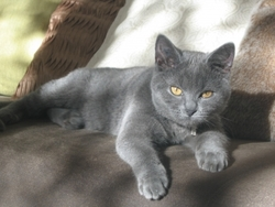Grizzo, chat Chartreux