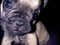 Gromitt, chien Bouledogue français
