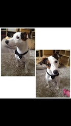 Groover, chien Jack Russell Terrier