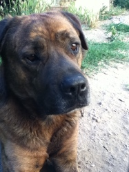 Groover, chien Cane Corso