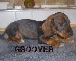 Groover, chien Teckel