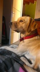 Groovy, chien Labrador Retriever