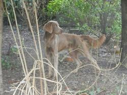 Gros Glouton, chien Braque de Weimar