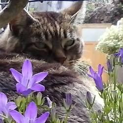 Gros Gris, chat Gouttière