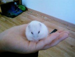 Gros Minet, rongeur Hamster