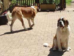 Grosblie, chien Saint-Bernard