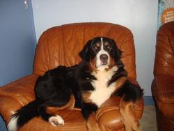 Groseille, chien Bouvier bernois