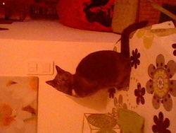 Groseille, chat Chartreux