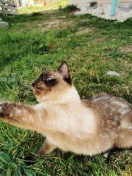 Groseille, chat Européen
