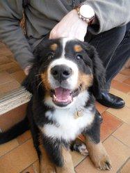 Grounf, chien Bouvier bernois