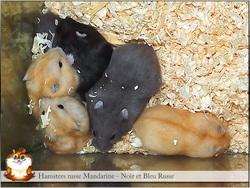 Olivier-Hcr, rongeur Hamster