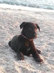 Gruiky, chien Labrador Retriever