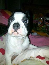 Grumpy, chien Bouledogue français