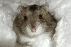 Gryffe, rongeur Hamster