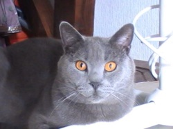 Gryffondor, chat Chartreux