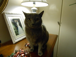 Grizzli, chat Chartreux