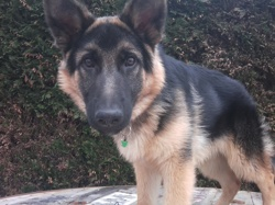 Gu H, chien Berger allemand