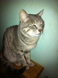 Guanouchou, chat Siamois
