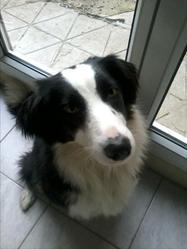 Guapa, chien Border Collie