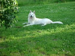 Guapa, chien Berger blanc suisse